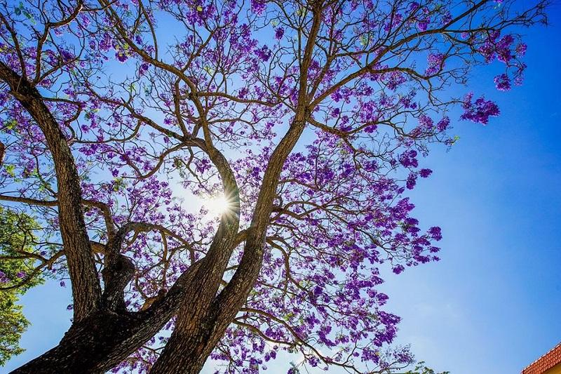 Sau đó, màu của chúng dần trở nên rực rỡ. Mọi ngõ ngách của thành phố mộng mơ đều có bóng dáng của loài hoa này.