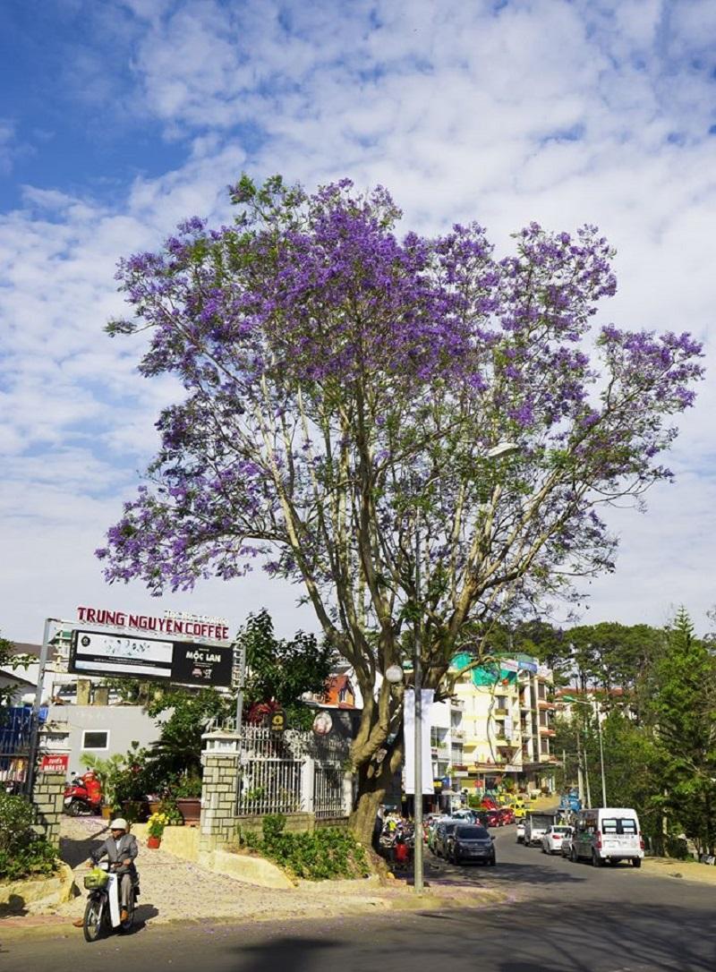 Câyphát triển tốt và nở từng chùm hoa đẹp do phù hợp với khí hậu mát mẻ của Đà Lạt