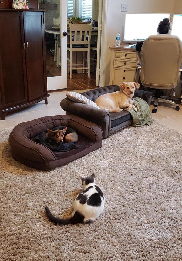 Chú chó bất ngờ nổi tiếng khi nằm ngủ trên sofa lúc chủ nhân dẫn bản tin thời tiết trên truyền hình 3