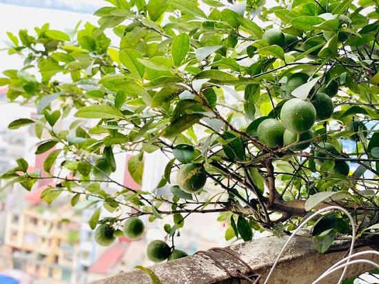 Ban công được Diễm Quỳnh hô biến thành một khu vườn nhỏ xanh mướt với rất nhiều loại cây trái khác nhau.