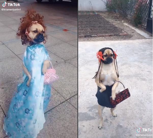 Mặc dù đáng yêu nhưng loạt ảnh và clip thời trang của chú chó trên cũng nhận phải một số chỉ trích từ cư dân mạng.