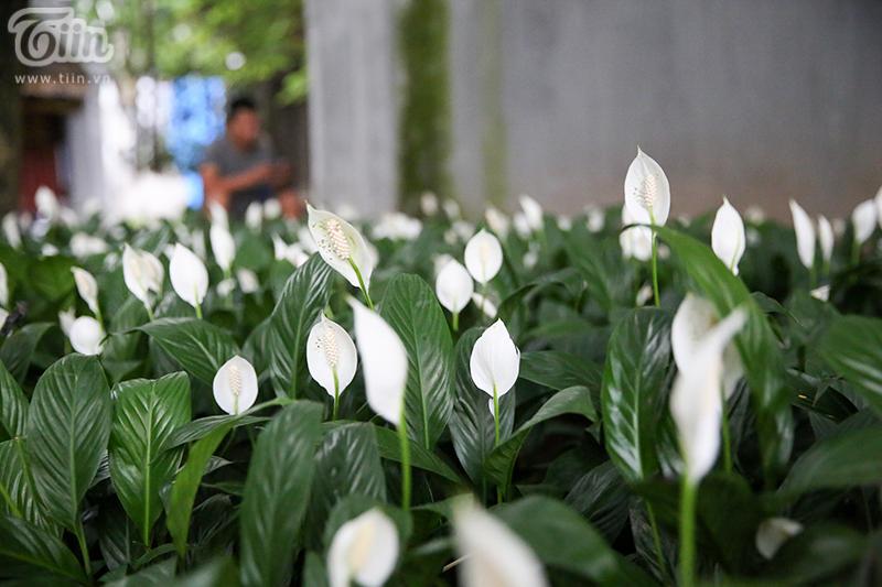Cây hồng môn (Anthurium) tượng trưng cho tình yêu và lòng hiếu khách.