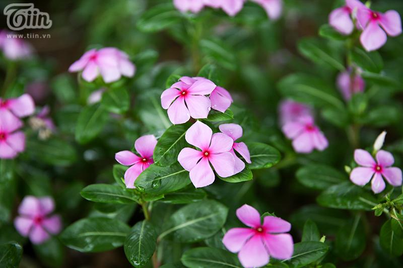 Dừa cạn có tên khoa học là Catharanthus roseus (L.) G. Don (Vinca rosea L.) chúng thường gọi với một số tên dân dã như là Bông dừa, Hải đăng, Hải đằng.