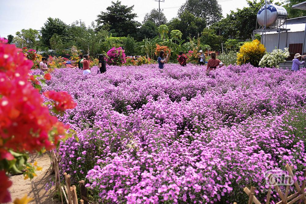 Đây là vườn hoa cúc thạch thảo trên đường Hà Tông Quyền, Q. Cẩm Lệ, TP. Đà Nẵng. Dù chỉ nằm trong khuôn viên nhỏ, diện tích khiêm tốn nhưng vườn hoa này khi lên ảnh thì lại đẹp mộng mị không khác gì phim Hàn.