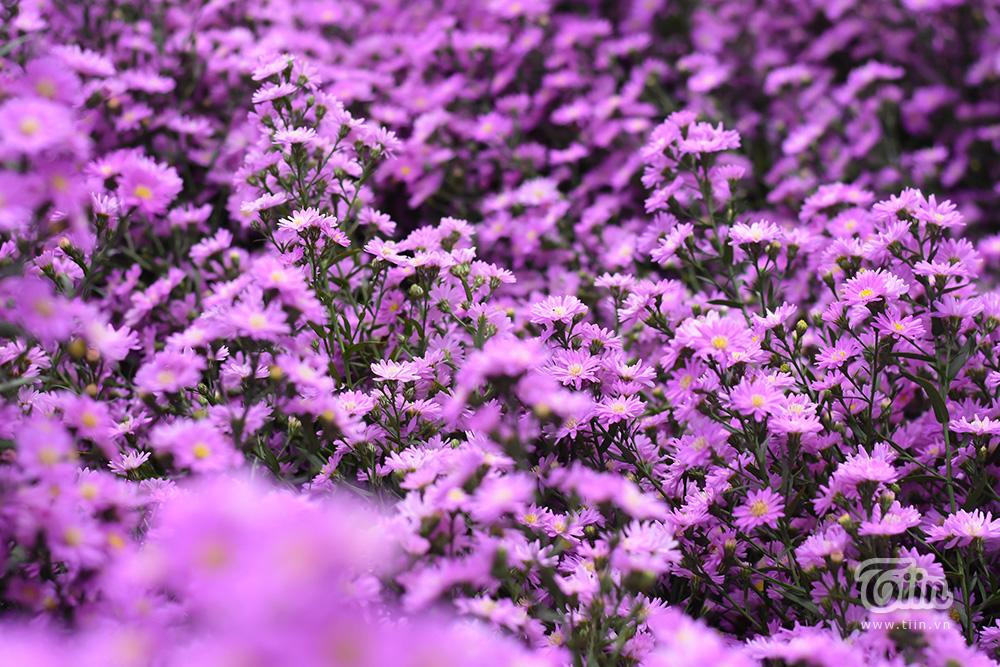Vườn hoa thạch thảo là sản phẩm của Hội nông dân Q. Cẩm Lệ sau hơn 3 tháng thử nghiệm, ươm trồng. Hoa thạch thảo nở rộ vào thời điểm giao mùa, trời bớt nắng gắt càng khiến cho dân tình thích thú, săn lùng đến check-in.