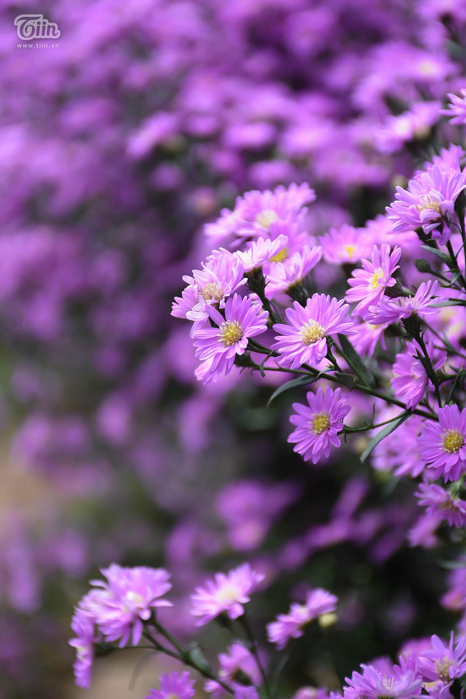 Những đóa hoa thạch thảo màu tím càng trở nên hấp dẫn giới trẻ và người mê chụp ảnh do đang là màu sắc trend của năm 2020. Được biết để tạo ra vườn ra này, Hội nông dân đã đầu tư kinh phí 60 triệu đồng.
