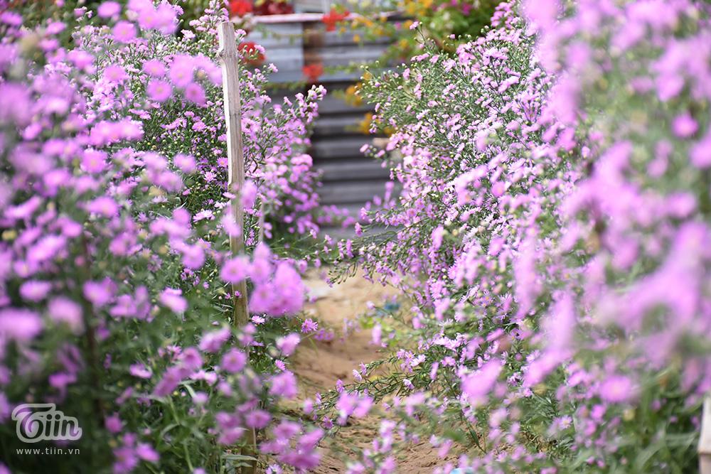 Vườn thạch thảo đẹp mộng mị như phim Hàn hứa hẹn thành tâm điểm check-in ở Đà thành 3