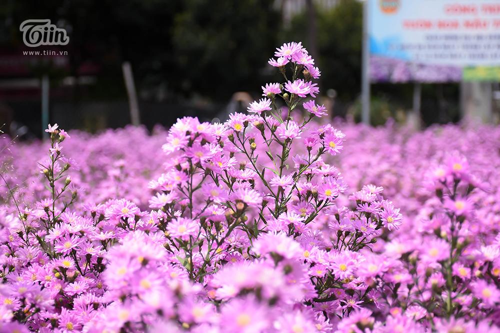 Vườn thạch thảo đẹp mộng mị như phim Hàn hứa hẹn thành tâm điểm check-in ở Đà thành 12