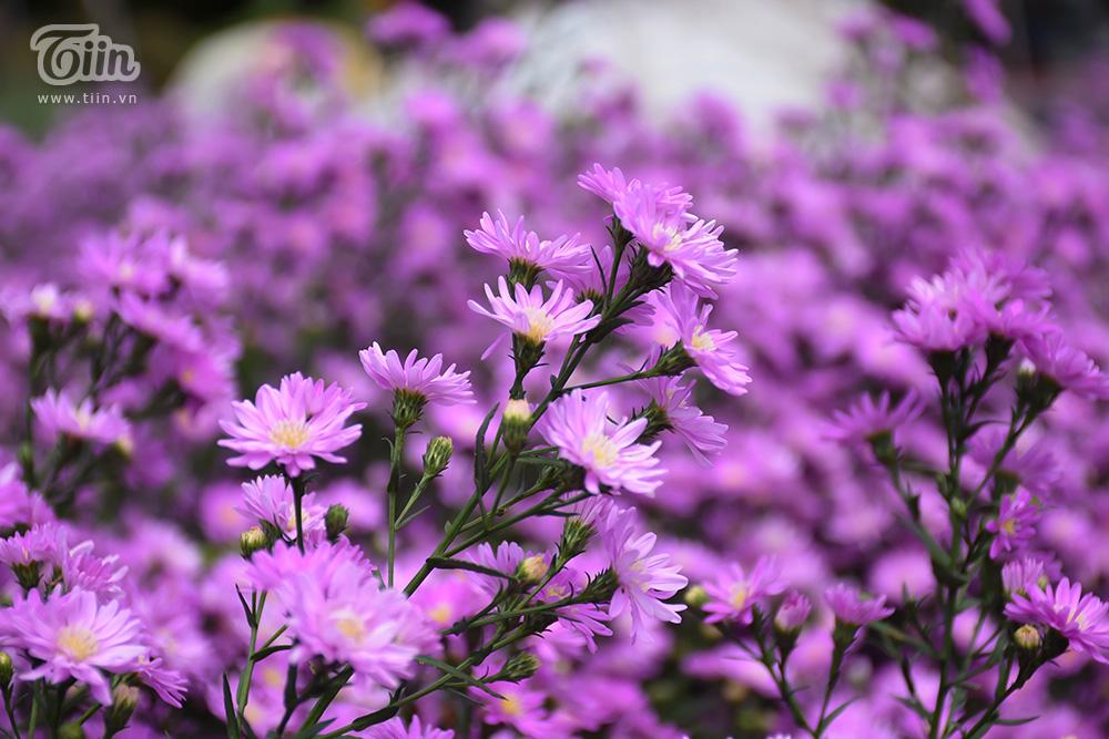 Vườn thạch thảo đẹp mộng mị như phim Hàn hứa hẹn thành tâm điểm check-in ở Đà thành 13