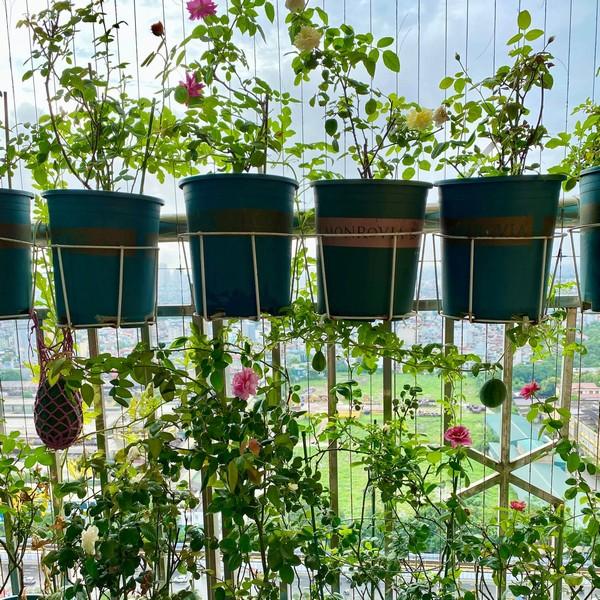 Giàn dưa hấu trồng ở ban công của cặp vợ chồng trẻ cho thu hoạch ngoài mong đợi: Quả gần 1kg đỏ mọng, ít hạt 5