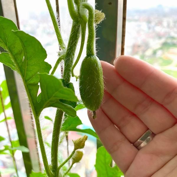 Giàn dưa hấu trồng ở ban công của cặp vợ chồng trẻ cho thu hoạch ngoài mong đợi: Quả gần 1kg đỏ mọng, ít hạt 7