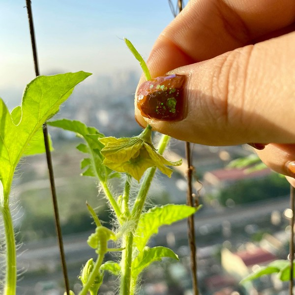Cách thụ hoa nhân tạo cho dưa hấu.