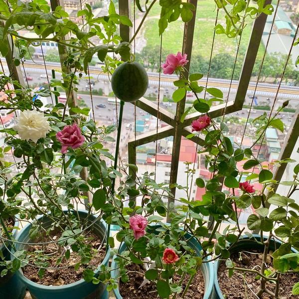 Giàn dưa hấu trồng ở ban công của cặp vợ chồng trẻ cho thu hoạch ngoài mong đợi: Quả gần 1kg đỏ mọng, ít hạt 14