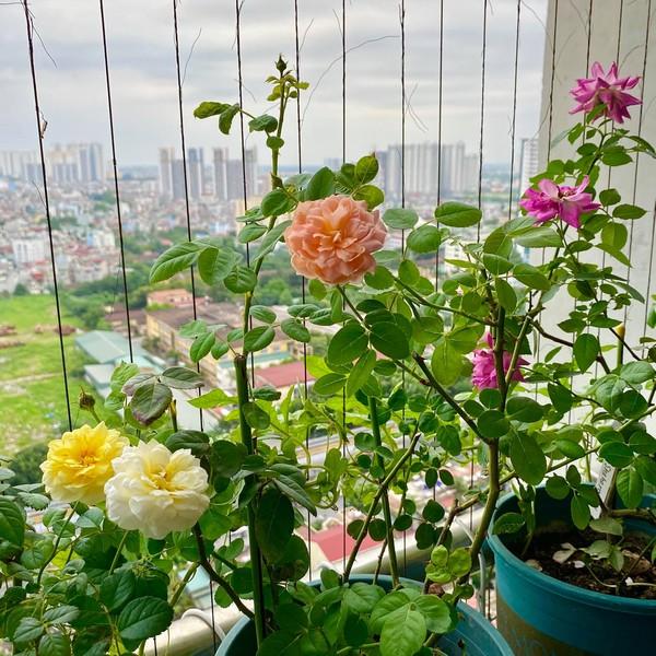 Vườn hoa hồng nhà chị Phương.