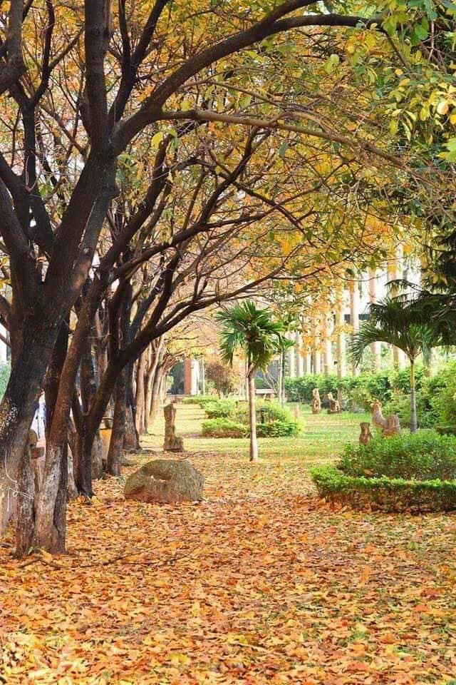 Những thảm lá vàng, đỏ trải dài trên con đường vào thư viện trường.