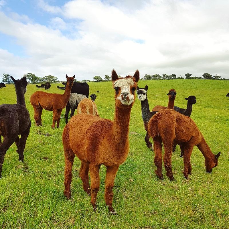 Thiếu nữ Hà thành bỏ việc theo chồng ngoại quốc về vùng nông thôn Úc, ngày ngày cuốc đất, nuôi bò 4