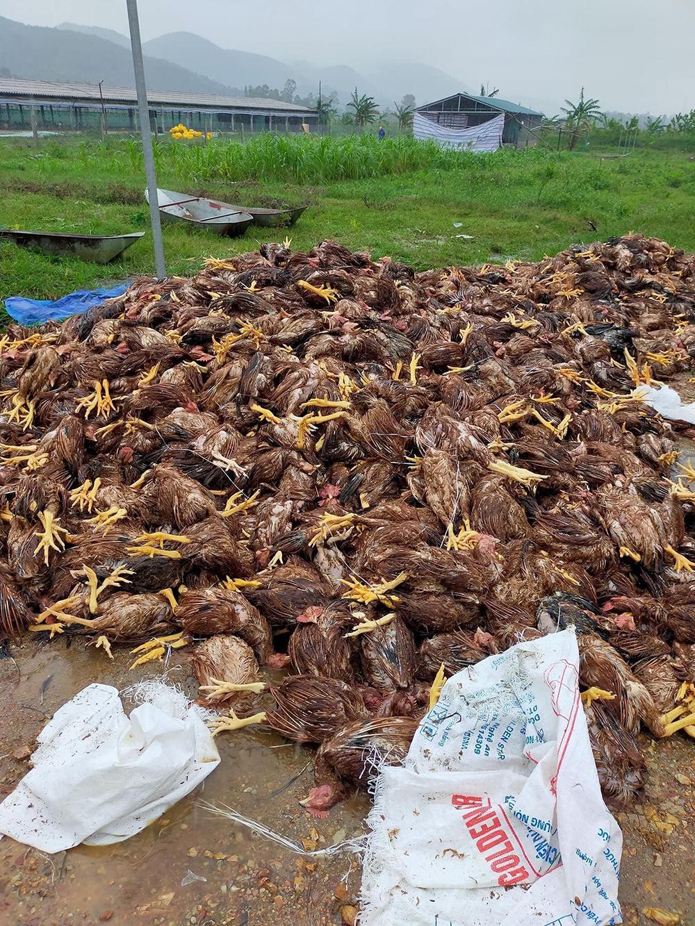 Hơn 10.000 con gà chết, anh Nhàn phải nhờ người dân quanh xóm phụvớt và tập trung lại một chỗ