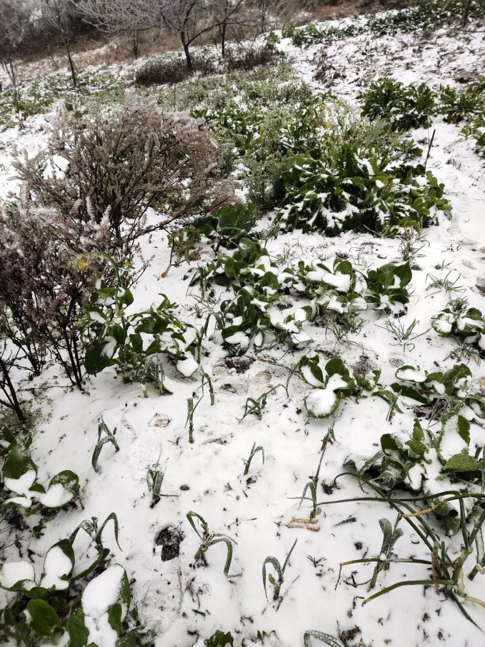 Clip: Tuyết đang rơi trắng xóa ở Y Tý (Lào Cai), khung cảnh đẹp chẳng khác gì trời Âu 8