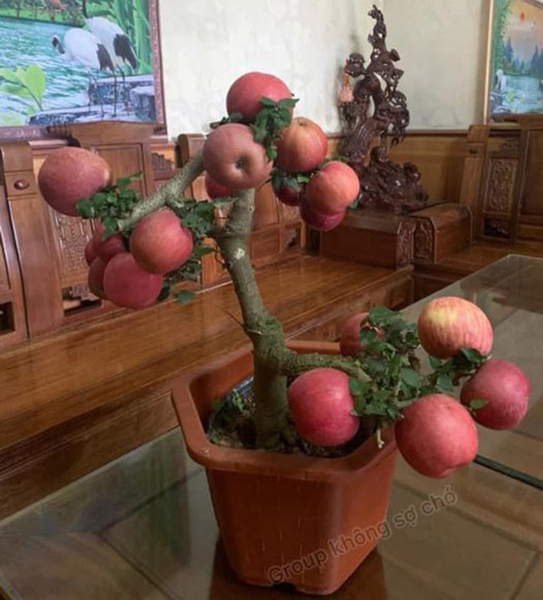 Cây táo bonsai độc lạ đang được chia sẻ trên mạng xã hội. Ảnh Không sợ chó.