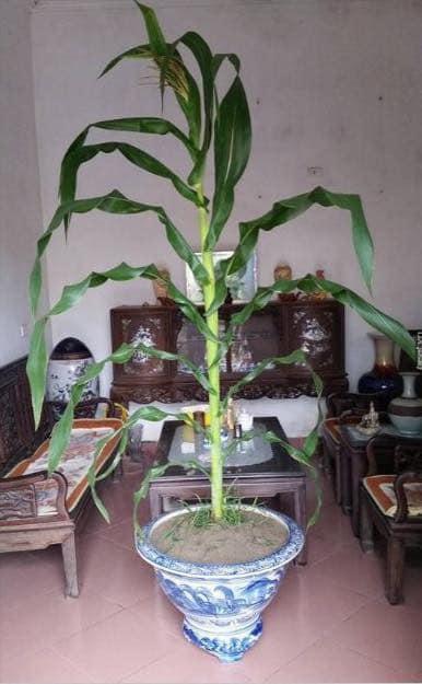 Chưa đến Tết, dân tình đã rần rần khoe toàn bonsai độc - lạ: Gây cười nhất là chậu táo lùn 'fake' mọc chi chít quả 1