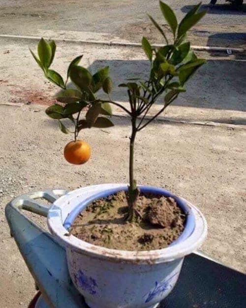 Chưa đến Tết, dân tình đã rần rần khoe toàn bonsai độc - lạ: Gây cười nhất là chậu táo lùn 'fake' mọc chi chít quả 4