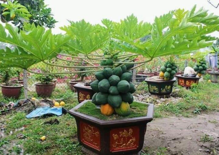 Chưa đến Tết, dân tình đã rần rần khoe toàn bonsai độc - lạ: Gây cười nhất là chậu táo lùn 'fake' mọc chi chít quả 2