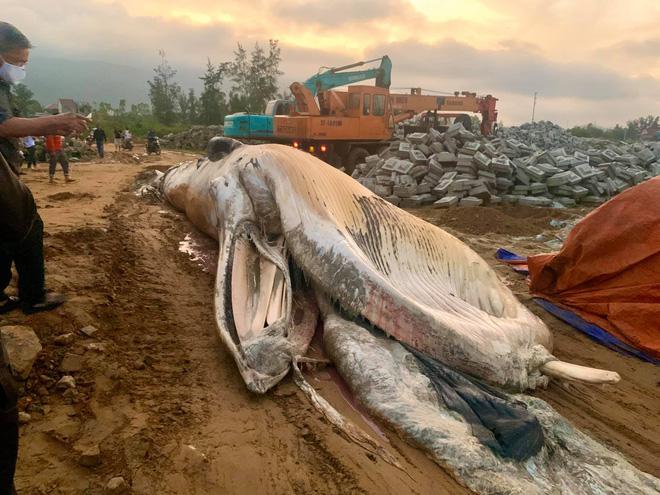 Phải dùng đến 2 chiếc xe cẩu chuyên dụng và mất nhiều giờ đồng hồ, người dân mới di chuyển được con cá đến vị trí cần chôn cất.