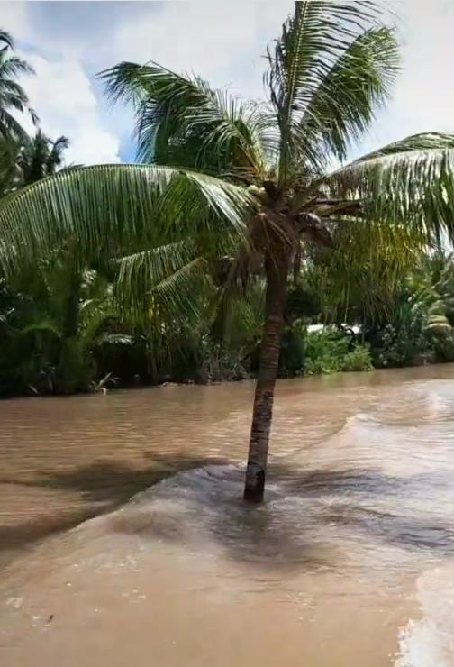 Cây dừa kỳ lạ mọc giữa lòng sông ở Bến Tre: Chuyện tưởng đùa nhưng hóa ra lại có thật! 2