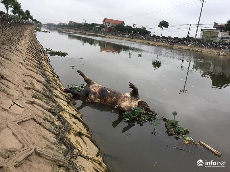 Xác lợn chết trương tại sông Phú Lợi, chỉ cách nhà Bí thư tỉnh ủy khoảng 200m.