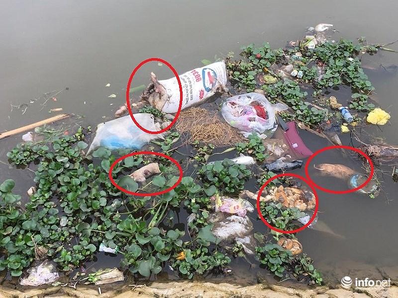Tại một nhánh của sông Phú Lợi, ngay trước nhà Bí thư Tỉnh ủy Nam Định Đoàn Hồng Phong, xác lợn to, lợn nhỏ, và cả lòng lợn cùng tụ lại.