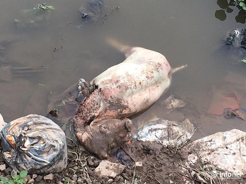 Xác lợn chết đang phân hủy, tại một đoạn sông thuộc địa bàn xã Nghĩa Phú. Do mùa nước cạn nên không thể trôi đi đâu.
