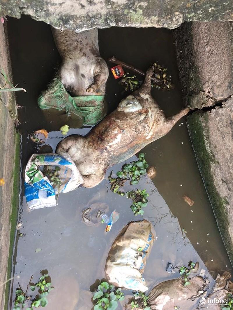 Xác lợn chết bị dồn tại cửa cống và đang phân hủy gây ô nhiễm nghiêm trọng.