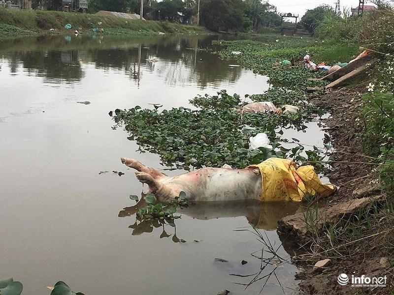 Nam Định: Xác lợn chết nổi lềnh phềnh đầy sông, ngay trước nhà bí thư 7