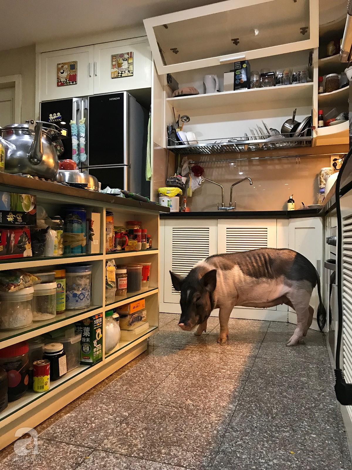 Gia đình ở Sài Gòn nuôi chú heo nặng gần 60kg, thực đơn riêng có tôm càng, xúc xích Đức, tổ yến 17