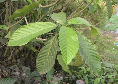 Cũng có người ngờ rằng, loại lá mà người chị kia mách nước cho em thực ra là cây lá han, có nguồn gốc ở Tây Bắc, gây ngứa kinh hoàng cho những ai chạm phài.