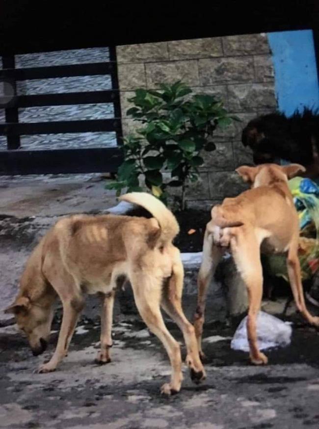 Nhiều chú chó bị bỏ đói đến gầy trơ xương.