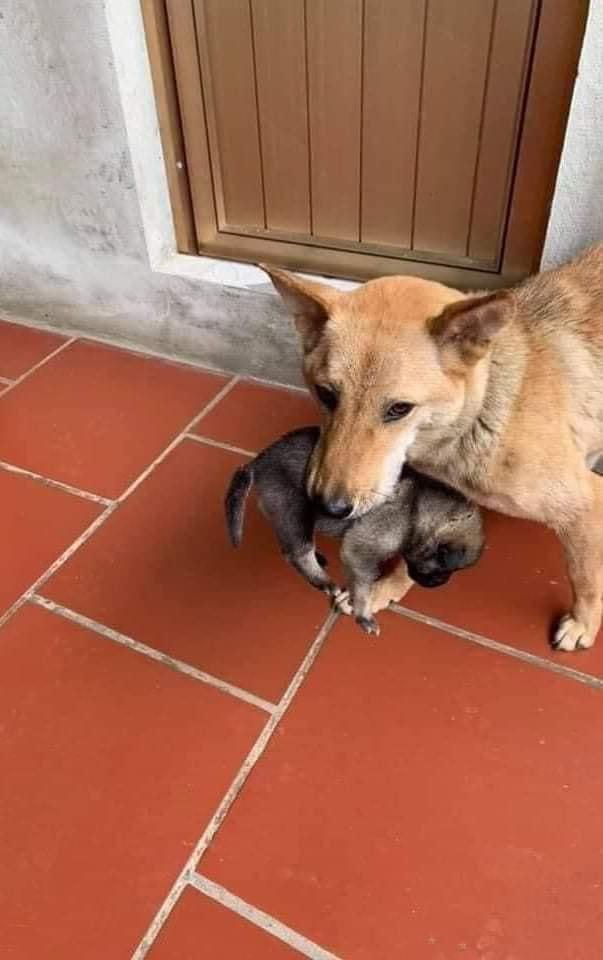Chó mẹ tha con chạy lũ nổi tiếng khắp mạng xã hội đã được cứu, dân mạng vẫn rơi nước mắt vì lý do này 2