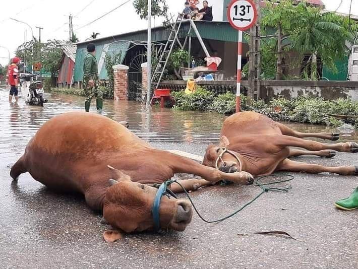 Hàng trăm con vật được cứu khỏi vùng ngập, dân mạng cấp bách lan truyền hình ảnh chú chó nằm trên 'nóc lũ' chờ trợ giúp 4