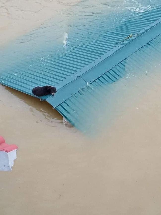 Hàng trăm con vật được cứu khỏi vùng ngập, dân mạng cấp bách lan truyền hình ảnh chú chó nằm trên 'nóc lũ' chờ trợ giúp 6
