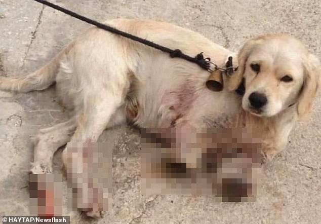 Sang nhà bên đuổi gà, chú chó bị hàng xóm bẻ gãy 2 chân nhưng hành động của chủ nhân con vật mới gây phẫn nộ 2