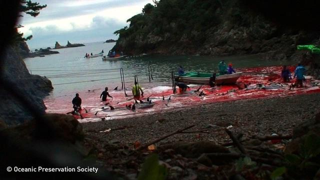 Vùng biển bỗng chốc nhuộm thành màu đỏ sau những lần săn bắt cá voi.