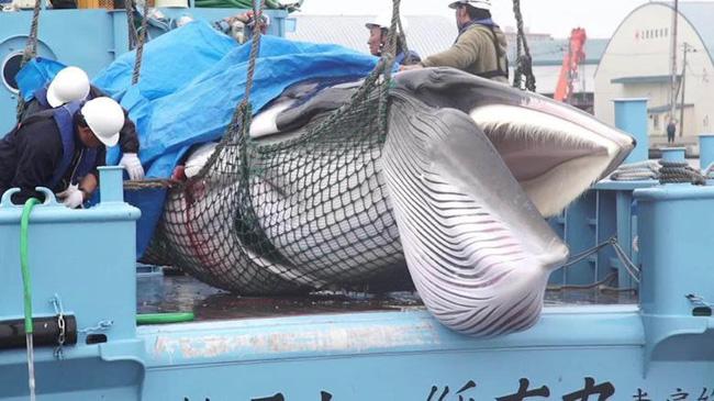 Vào năm 2019, hoạt động săn bắt cá voi ở Nhật Bản đã trở lại.
