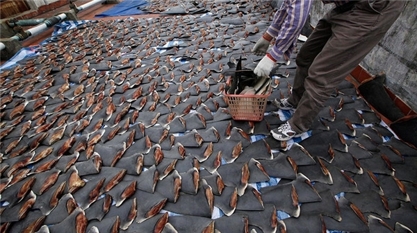 Để có được những chiếc vây cá mập như thế này, hàng trăm sinh mạng đã bị cướp đi để phục vụ nhu cầu của con người.