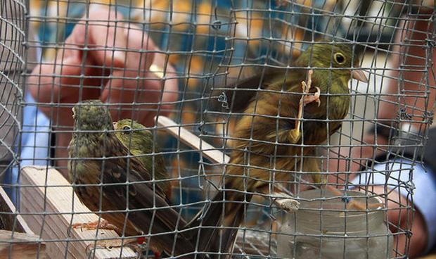 Những con chim họa mi sẽ bị bắt nhốt để vỗ béo trước khi chế biến thành món ăn.