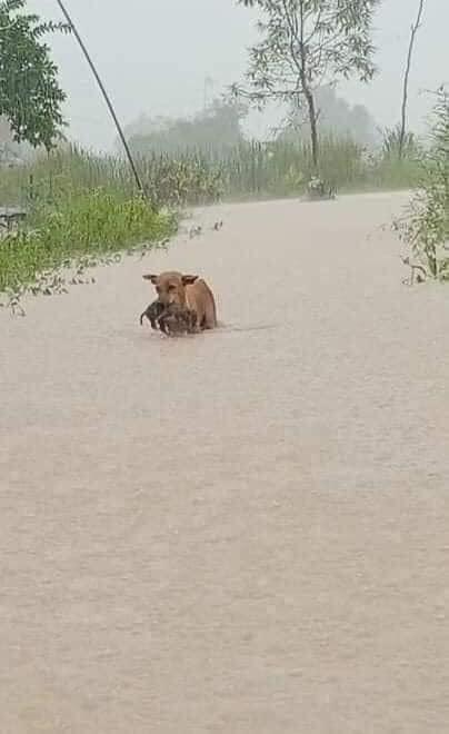 Rơi nước mắt hình ảnh chó mẹ tha con giữa dòng lũ, hàng loạt động vật rưng rưng như kêu cứu, dân mạng: 'Người cứu còn không xuể, biết làm sao đây?' 0
