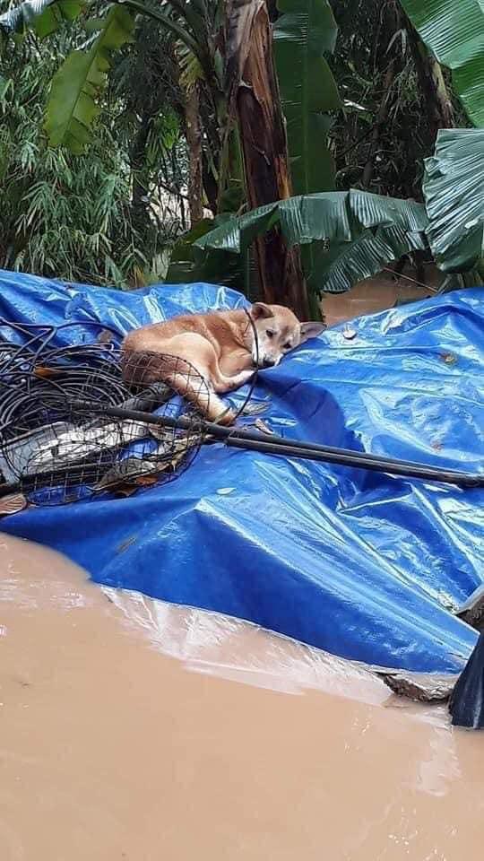 Rơi nước mắt hình ảnh chó mẹ tha con giữa dòng lũ, hàng loạt động vật rưng rưng như kêu cứu, dân mạng: 'Người cứu còn không xuể, biết làm sao đây?' 2