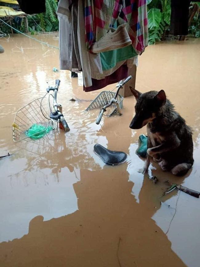 Rơi nước mắt hình ảnh chó mẹ tha con giữa dòng lũ, hàng loạt động vật rưng rưng như kêu cứu, dân mạng: 'Người cứu còn không xuể, biết làm sao đây?' 4