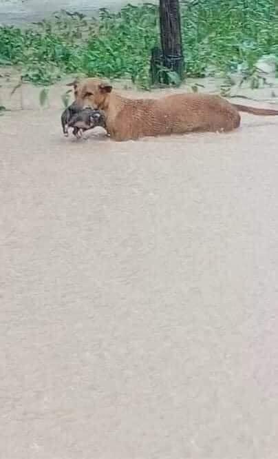 Rơi nước mắt hình ảnh chó mẹ tha con giữa dòng lũ, hàng loạt động vật rưng rưng như kêu cứu, dân mạng: 'Người cứu còn không xuể, biết làm sao đây?' 1