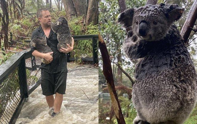 Sau thảm kịch cháy rừng khổng lồ, các khu vực thiệt hại đã có mưa, nhưng lượng mưa nhiều thành lũ quét đã gây ra ảnh hưởng khủng khiếp đến Công viên Bò sát – nơi gấu túi đang ở.