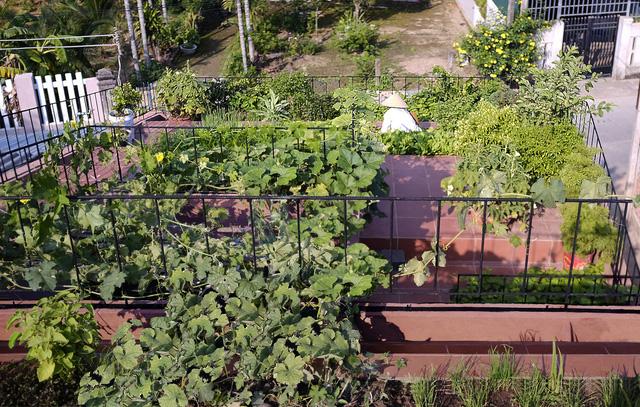 Vườn rau 7 bậc thang xanh tươi trên mái nhà của vợ chồng trung niên được các con xây tặng ở Quảng Ngãi 8